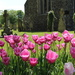 Jerry McDonnell Tulips - a tulip with history