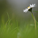 Daisy by greenpeg