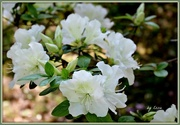5th May 2015 - White Azalea