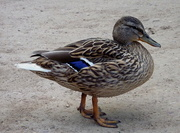 """5th May 2015 - """"Ey up mi duck"""""""