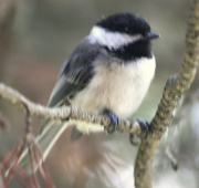 30th Oct 2010 - Chickadee