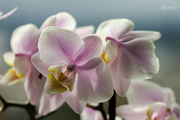 6th May 2015 - Orchid