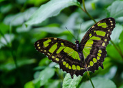 6th May 2015 - Green Butterfly