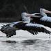 Synchronised flying by flyrobin