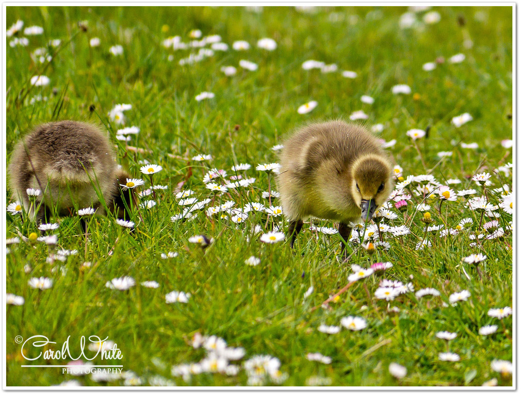 Down Among The Daisies by carolmw