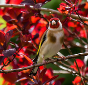 7th May 2015 - 7th May 2015 - Goldfinch