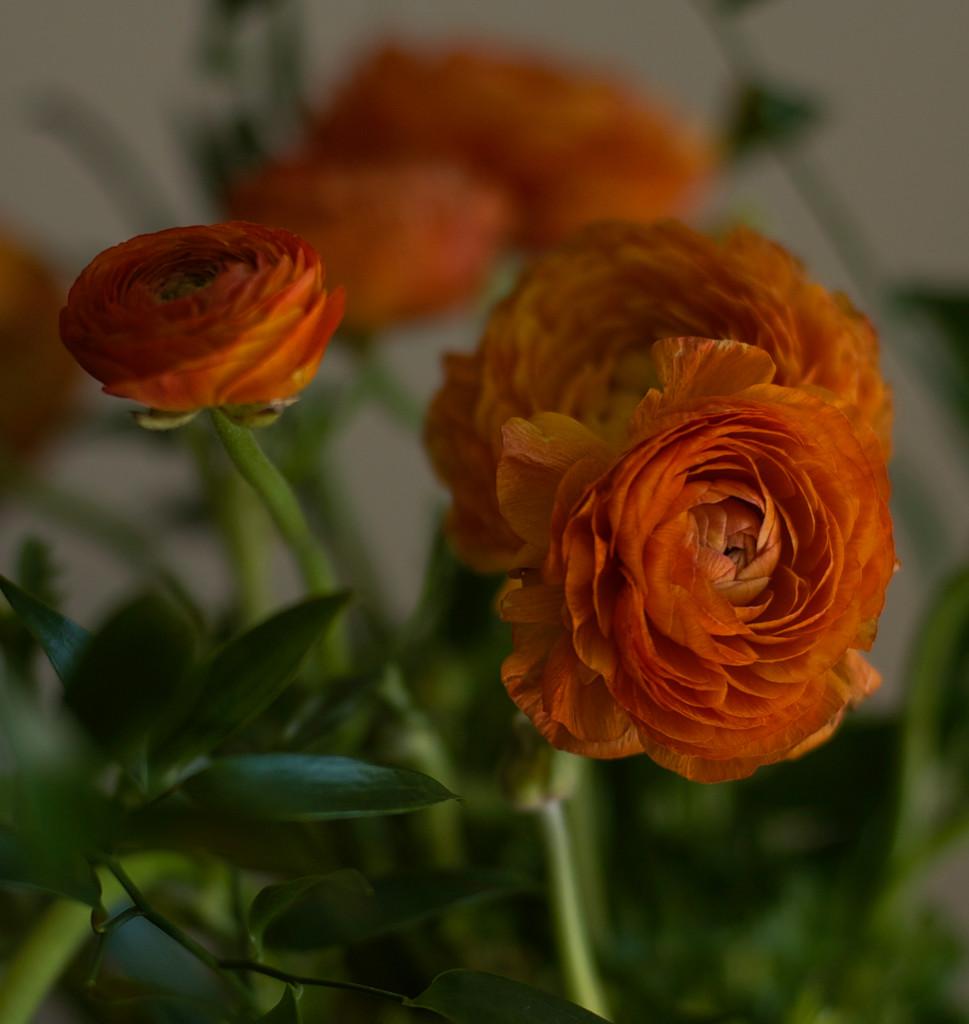 Orange ranunculus  by loweygrace