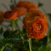Orange ranunculus  by loweygrace