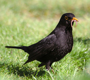 6th May 2015 - Blackbird with worm