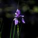 Iris by nanderson