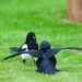 Magpie V Jackdaw by padlock