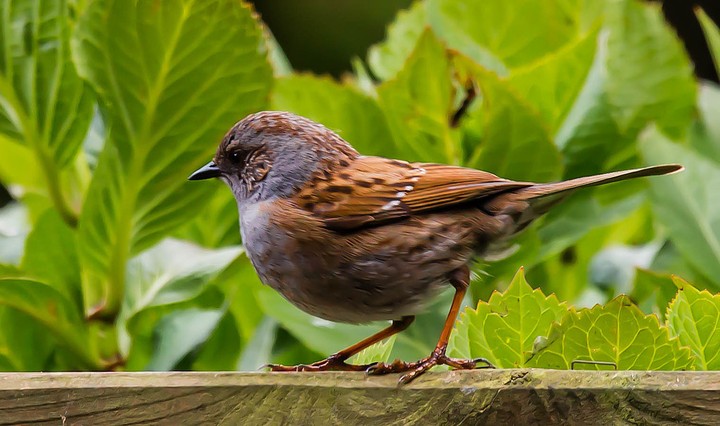 8th May 2015 - My little dunnock by pamknowler