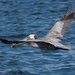 Pelican in Motion (flight) by mikegifford