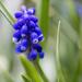 9th May 2015 - Grape Hyacinth by pamknowler