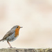 2015 05 08 - Robin by pixiemac