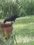 9th May 2015 - Black bird