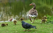 7th May 2015 - Goslings and pigeon