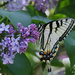 Eastern Tiger Swallowtail by skipt07