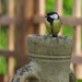 Nesting Great Tit by padlock