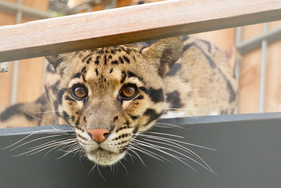 Clouded Leopard by leonbuys83