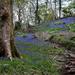 Bluebells by overalvandaan