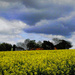 Canola and Big Skies (mobile phone shot)