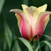 Pink and yellow tulip by mittens