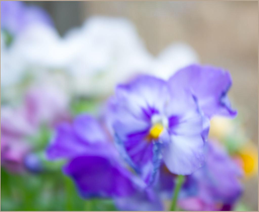 purple pansy 2 by randystreat