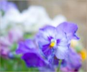 12th May 2015 - purple pansy 2