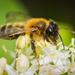 Bee by suebarni