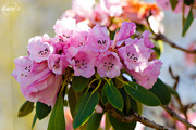 13th May 2015 - Rhododendron