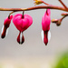 Bleeding Hearts by tosee