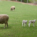 The lambs have arrived! by mccarth1