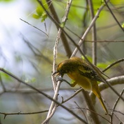 15th May 2015 - Mrs. Oriole collects her nest supplies