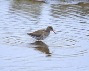 15th May 2015 - Redshank