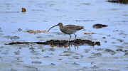 15th May 2015 - Curlew