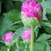 Raindrops on Peony Buds! by homeschoolmom