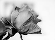 15th May 2015 - Rose Profile