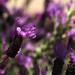 lavender by nanderson