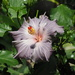 Hibiscus 1 by selkie