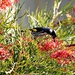Grevillea and the New Holland Honeyeater. by leestevo