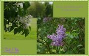 16th May 2015 - We'll Gather Lilacs...........