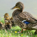 Duck family by richardcreese
