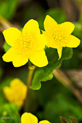16th May 2015 - Marsh-Marigold