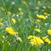 Dandelion heaven by bizziebeeme