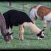 Alpaca variety by flyrobin