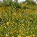 Forget_me_not & Ranunculus