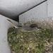 Phoebe on the nest.