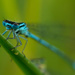 Blue Damselfly by leonbuys83