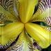 An Iris in Dale's Garden